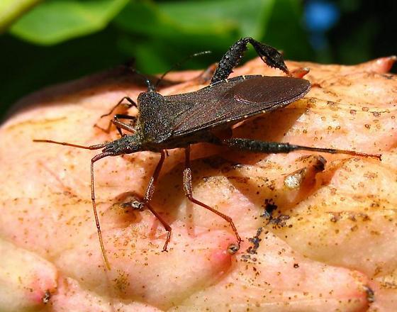 Leptoglossus? - Leptoglossus fulvicornis