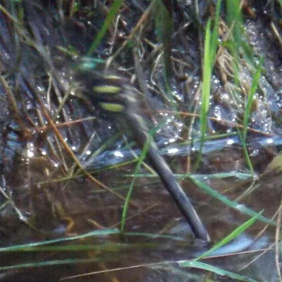 Twin-spotted Spiketail - Cordulegaster obliqua - female