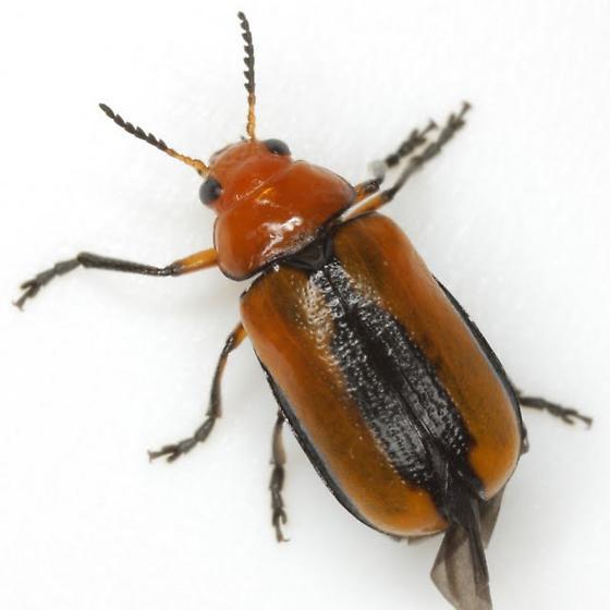 Anomoea laticlavia (Forster)  - Anomoea laticlavia