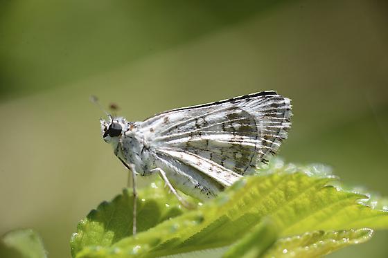 Moth species?