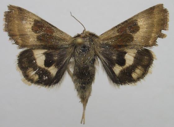 Flower Moth - Heliothis oregonica
