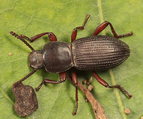 Darkling Beetle - Argoporis