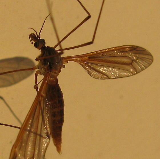 Crane fly? Species Angarotipula illustris - Angarotipula illustris - female