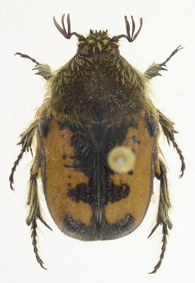 Stephanucha areata - Euphoria areata