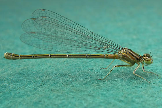 Narrow-winged Damselfly - Coenagrion resolutum - female