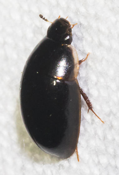 Pale-edged water scavenger beetle