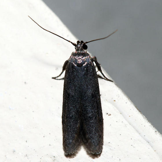 Holcocera chalcofrontella - male