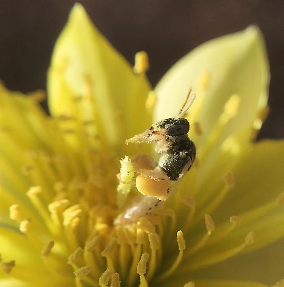 Pollen laden Perdita on Mentzelia multiflora, Adonis Blazingstar - Perdita - female