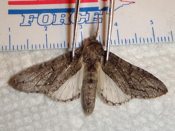 Unknown Moth Species - Heterocampa averna