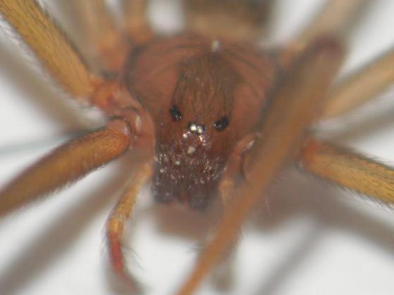 Florida Loxosceles - Loxosceles rufescens - female