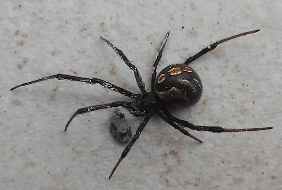 ---  Widow - Latrodectus hesperus