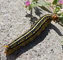 White-lined sphinx moth larva, Hyles lineata