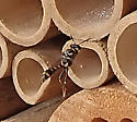 wasp in bee house in flight - Trypoxylon
