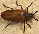 rhipicerid - Sandalus californicus - male