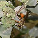 Wasp On MM - Sphex ichneumoneus