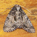 Unidentified Moth-140709-04 - Chytonix palliatricula
