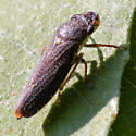 Leafhopper - Speckled Sharpshooter - Dorsal - Paraulacizes irrorata
