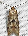 moth - Holcocera - female
