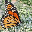 Butterfly - Danaus plexippus - female