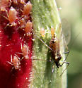 A Rose By Any Other Name- would still have aphids... - Macrosiphum - female