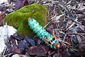 Maybe Hickory Horned Devil - Citheronia regalis