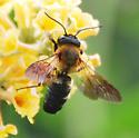 Bee on Yellow Flower - Megachile sculpturalis