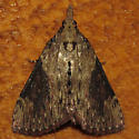unknown moth - Omphalocera cariosa