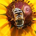 Syrphidae? - Eristalis stipator - female