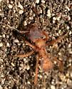 Ant - Trachymyrmex turrifex