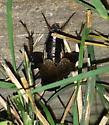 Gryllus pennsylvanicus - male