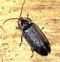 Firefly Ellychnia corrusca? - Ellychnia corrusca