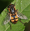 Lejops? - Helophilus latifrons - male