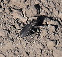 Tiger beetle ID request