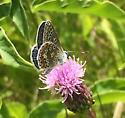Polyommatus icarus (European Common Blue) - Polyommatus icarus