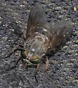 horsefly - Hybomitra aequetincta