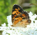 Orange butterfly - Phyciodes tharos