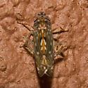 Scaphoideus nigrellus - Scaphoideus