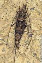 bristletail - Mesomachilis