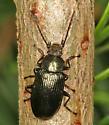 Darkling Beetle on fir - Helops laetus