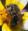Andrena (Diandrena) - Andrena malacothricidis - female
