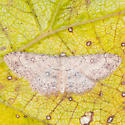 Cyclophora nanaria - female