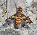 Orange striped Beefly with patterned wings - Exoprosopa fascipennis
