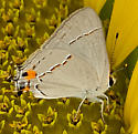 Hairstreak - Strymon melinus