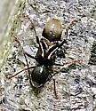 Beetle - Cyrtophorus verrucosus