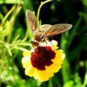 Bee mimic? - Poecilanthrax lucifer