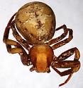 Xysticus apachecus - dorsal - Xysticus apachecus - female