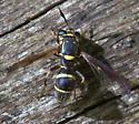 Sphiximorpha willistonii - Sphiximorpha willistoni - female