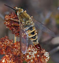 Delhi Sands Flower-loving Fly - Rhaphiomidas terminatus - male