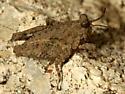 Pygmy Grasshopper Nymph - Paratettix cucullatus