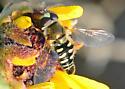 Bird Hover Fly - Eupeodes volucris - male